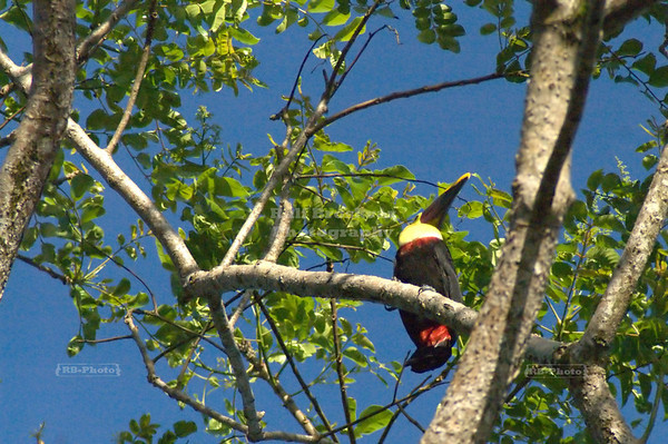 Chestnut-mandibled toucan high up in a tree, Tortuguero Village, Costa Rica [ image not recommended for large prints ]
