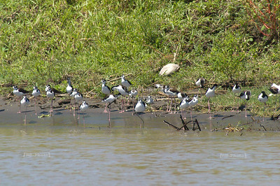 Black necked stilts on the shore of the Toruguero canal, Cost Rica