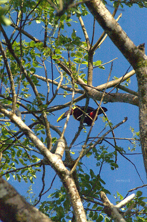Chestnut-mandibled toucan high up in a tree, Tortuguero Village, Costa Rica [ image not suitable for large prints ]
