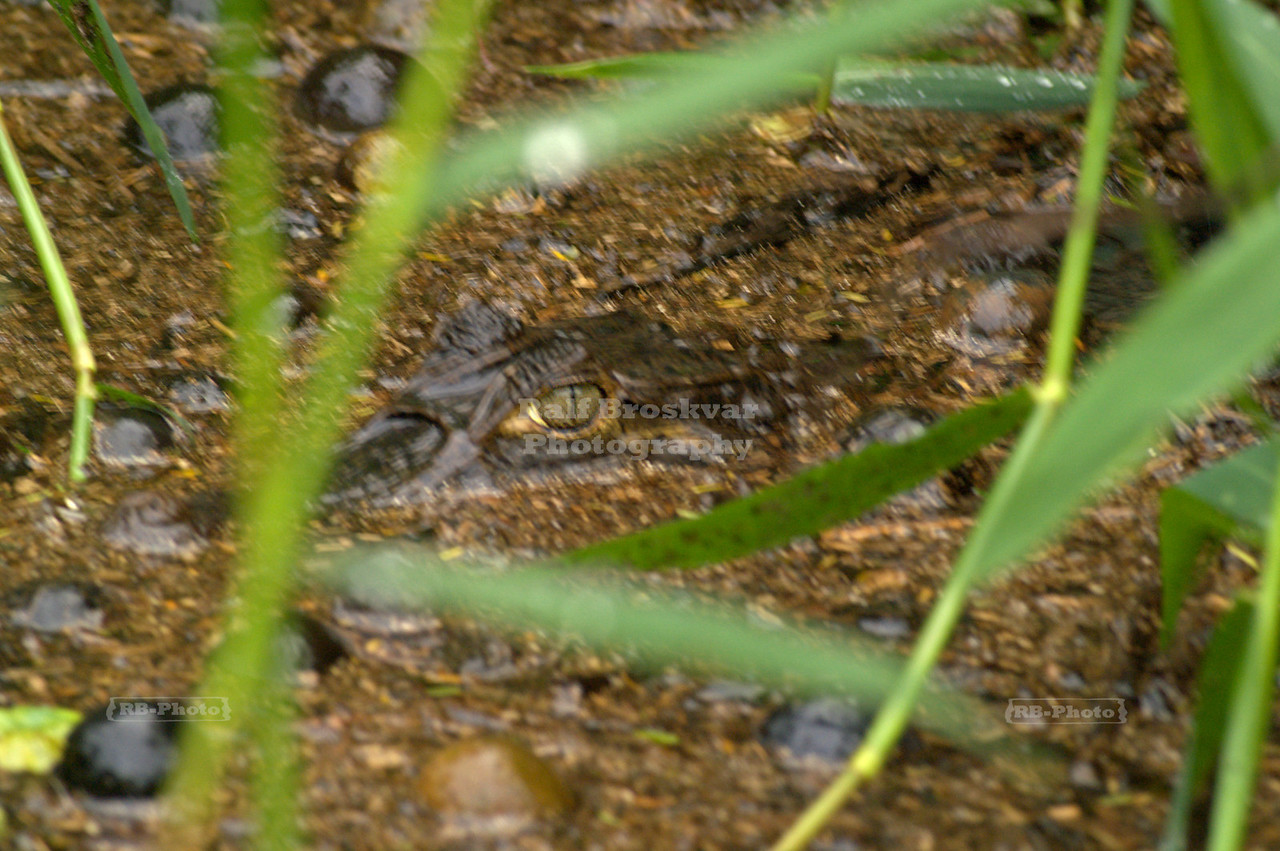 Another caiman lurking in the waters of<br /> Tortuguero National Park, Costa Rica