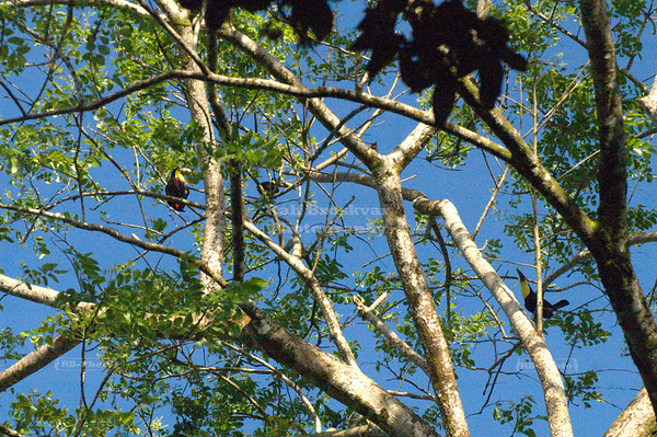 Several chestnut-mandibled toucans high up in a tree, Tortuguero Village, Costa Rica [ image not suitable for large prints ]
