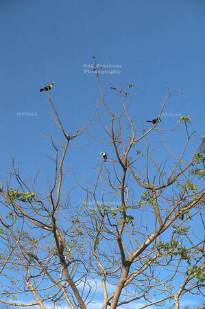 3 Chestnut-mandibled toucans, Tortuguero Village, Costa Rica [image not recommended for large prints]