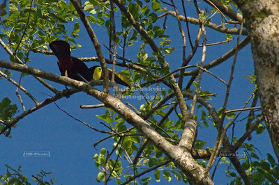 Chestnut-mandibled toucan high up in a tree, Tortuguero Village, Costa Rica [ image not recommended for quality prints ]