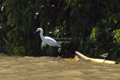 Great White Egret and a little stilt riding out the waves