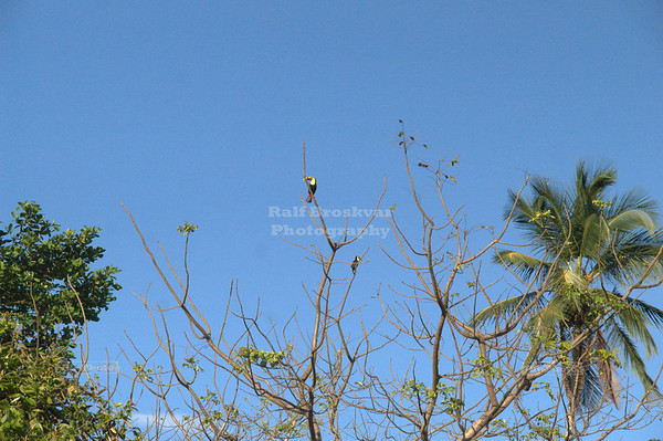 2 chestnut-mandibled toucans high up in a tree, Tortuguero Village, Costa Rica [ image not suitable for large prints ]