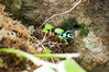 Black and Green Poison Dart Frog