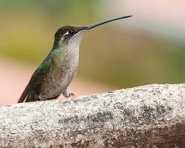 Magnificent Hummingbird - female