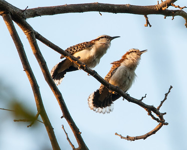 Rufous-naped Wrens