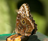Common Morpho (wings closed - drab outside appearance )