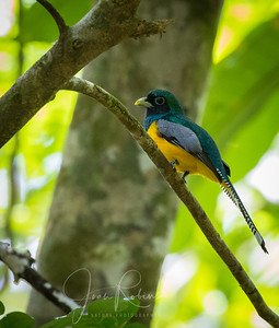 Male  Black-throated Trogan