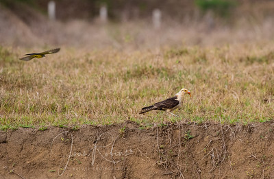 Yellow-headed Caracara on the run