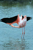 Greater Flamingo getting ready to fly