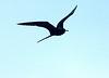 Male Frigate Bird in flight