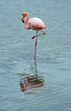 Greater Flamingo in the lagoon