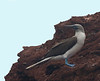 Blue-footed  Boobie on the rocky cliff face.
