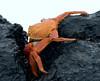 Sally Lightfoot grabbing a rock