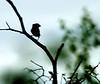 Finch silhouette