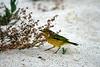 Yellow Warbler on the sandy beach of La Bachas