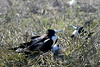 Nesting colony of Frigate Birds with young chicks.