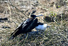 Frigate Bird with down covered chick.