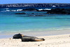 Many sea lions on the white beaches of Darwin's Bay