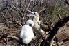 Red Footed Booby with juvenile