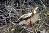 Roosting Red Footed Booby