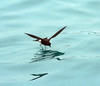 Elliot's Storm Petrel skimming the water surface