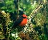 The Beauty - Vermiliion Flycatcher