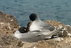 Pair of Swallow-tailed gulls on a siesta