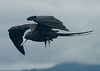 Frigate bird sweeping down