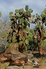 Prickly Pear Cacti trees