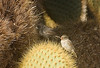 Pair of Cactus Finches