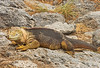 Land iguana basking in the sun