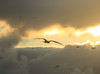Frigate birds at sunrise