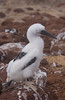 Juvenile booby covered with white downy feathers