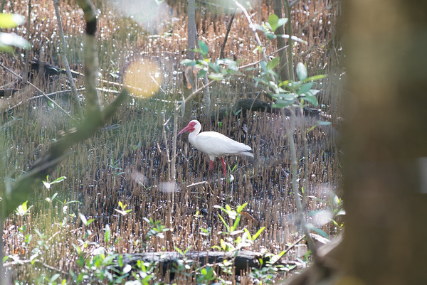 Bright red-legged ibis