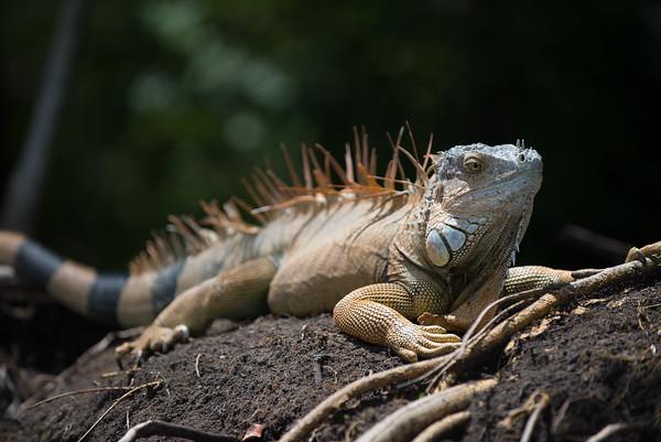 A huge iguana
