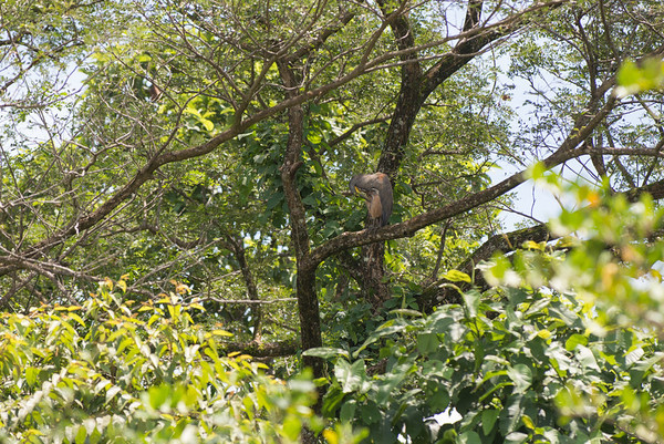 Can you see the Tiger Egret?