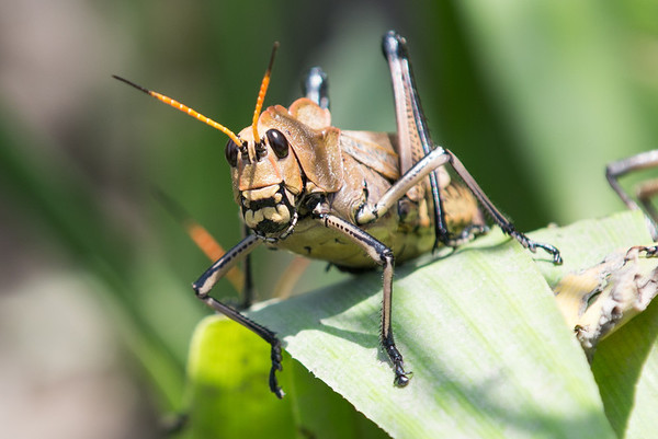 Gigantic grasshoppers