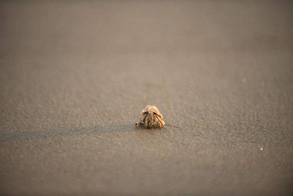 Hermit crab strolling on the beach