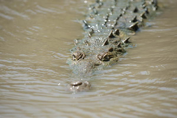 Crocodile approaching our boat