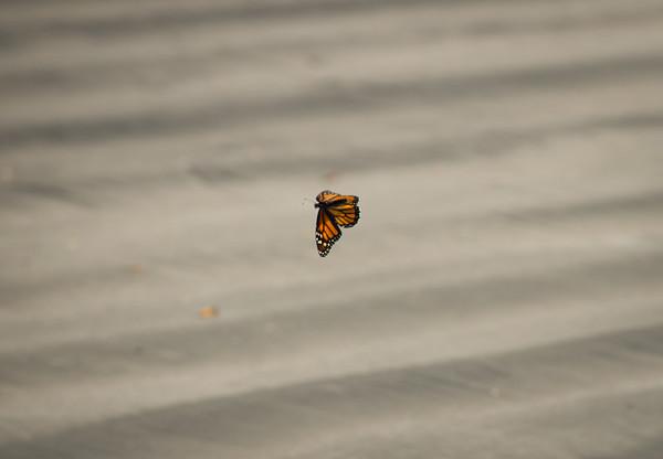 Monarch at the beach