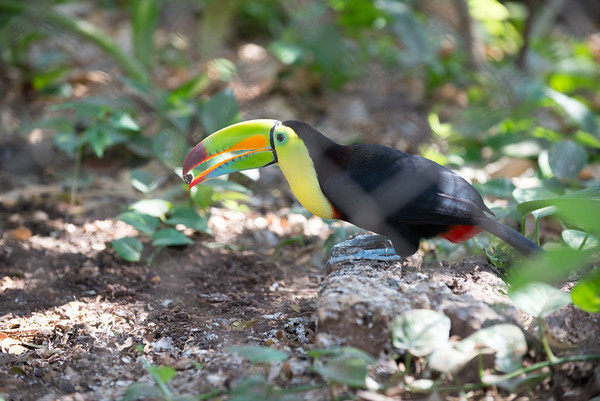 Toucan eating lunch
