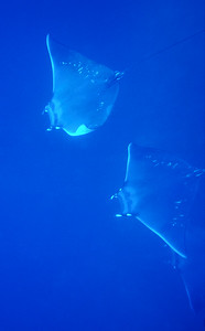 © Joseph Dougherty. All rights reserved.    Manta birostris   Walbaum, 1792 Giant Oceanic Manta Ray   Three giant mantas gliding through the clear blue water at Isla del Caño, southwestern Costa Rica.