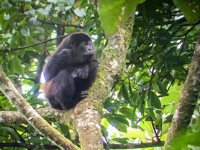 Spider Monkey, the biggest monkey in Costa Rica