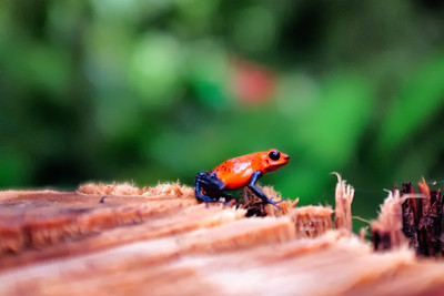 The poisonous Blue Jean Poison Dart Frog