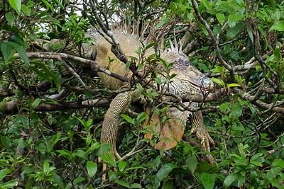 Sleeping, sunning Iguana