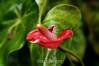 Anthurium - La Paz Costa rica (2) D