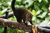 Coatimundi - Costa Rica (8) D